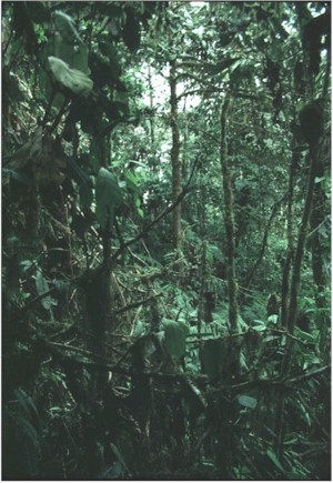 Heavily tangled tropical vegetation aroung small clearing